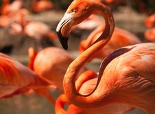Free Flock Of Beautiful Flamingos Stock Photo - 14374340