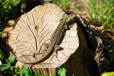 Free Green Lizard Stock Photography - 14374642