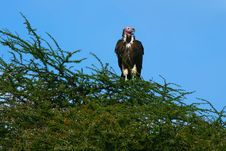 Free Lappet Faced Vulture Royalty Free Stock Photos - 14375678