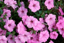 Free Pink Flower Background Royalty Free Stock Photography - 14375907