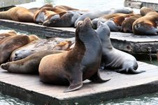 Free Sealion.Fisherman S Wharf.San Francisco Royalty Free Stock Image - 14375986