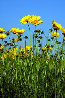Free Calliopsis Stock Image - 14376121