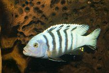 Free Striped Cichlid In Aquarium Stock Images - 14376964