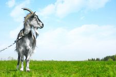 Free Goat Stock Images - 14377204