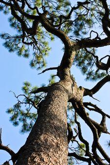Free Kesiya Pine Royalty Free Stock Photo - 14377255