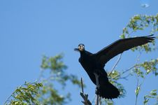 Free Great Cormorant On A Branch Stock Images - 14377684