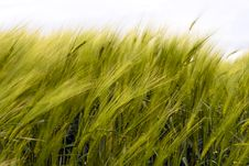 Free Wheat Fields Royalty Free Stock Photography - 14378127