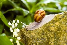 Free Snail Royalty Free Stock Images - 14378169