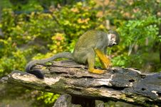 Free Common Squirrel Monkey Royalty Free Stock Photos - 14378178