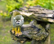 Free Common Squirrel Monkey Royalty Free Stock Photos - 14378188
