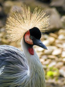 Free Crowned Crane Royalty Free Stock Images - 14378229