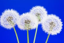 Free Dandelions Royalty Free Stock Photography - 14378677