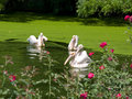 Free Pelicans In A Rosy Pond Stock Photos - 14381343