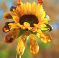 Free Necklace Of Amber For Sunflower Stock Images - 14383304