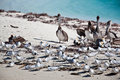 Free Terns And Pelicans Stock Images - 14384134