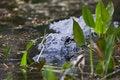 Free Alligator Royalty Free Stock Photos - 14384198