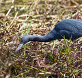 Free Little Blue Heron Stock Images - 14384264