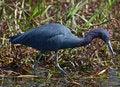 Free Little Blue Heron Stock Photo - 14384280