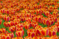 Free Tulips Field Stock Photography - 14385122