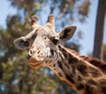 Free Close-up Of Giraffe Head Stock Image - 14386521