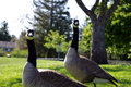 Free Canadian Goose Couple Stock Photography - 14387812