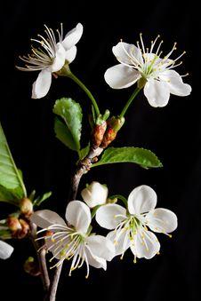 Free Cherry Blossom Stock Photo - 14380750