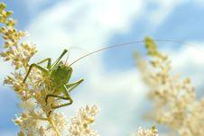 Free Green Grasshopper On The Flower Stock Photos - 14381613