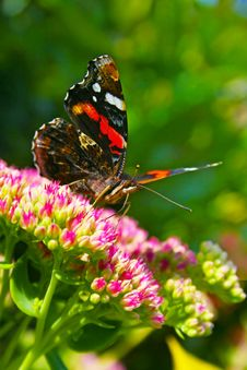 Free Red Admiral Portrait Royalty Free Stock Image - 14381636