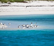 Free Terns And Pelicans Royalty Free Stock Photography - 14384087