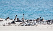 Free Terns And Pelicans Stock Images - 14384144