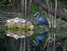 Free Little Blue Heron Royalty Free Stock Photography - 14384217