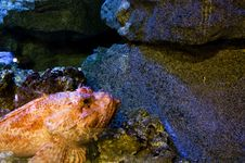 Free Immobile Scorpionfish Stock Photo - 14384250