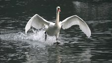 Free Swan Flying On River Adda Stock Images - 14384404