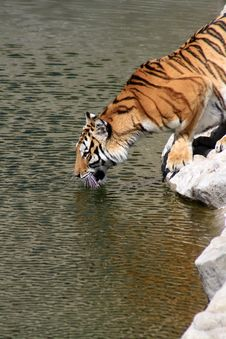 Free Tiger On River Bank Royalty Free Stock Image - 14384746