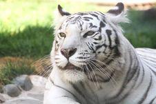 Free White Tiger Stock Photo - 14384780