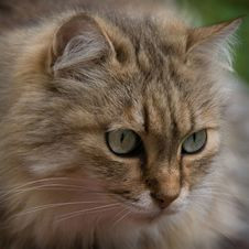 Free Concentration Of A Tabby Cat Stock Images - 14384874