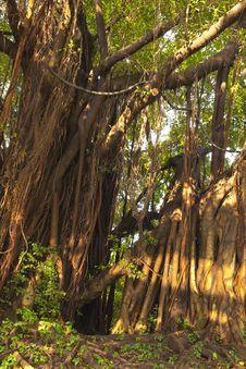 Free Banyan Stock Image - 14384901