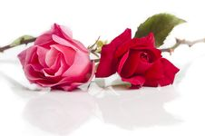 Free Rose Stock Photography - 14385182