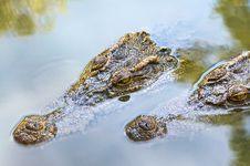 Free Crocodile Royalty Free Stock Image - 14385666