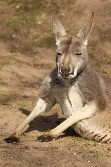 Free Kangaroo Laying On The Ground Royalty Free Stock Photography - 14385937