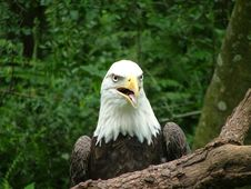 Free American Eagle Royalty Free Stock Photo - 14386175