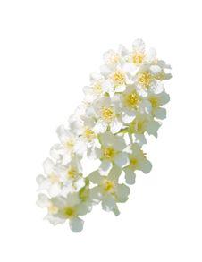 Free Spray Of Lilac Stock Photo - 14386400