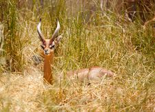Free Beautiful Resting Gazelle Royalty Free Stock Photos - 14386468