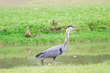 Free Great Blue Heron Hunting In Marsh Royalty Free Stock Photo - 14386485