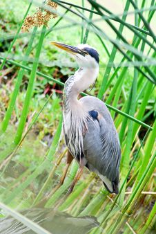 Free Great Blue Heron In Marshland Stock Photos - 14386513