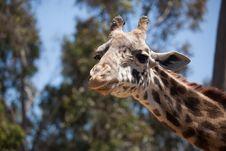 Close-up Of Giraffe Head Royalty Free Stock Photography