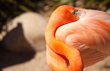 Free Beautiful Flamingo Rests Stock Photo - 14386540