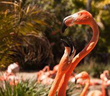Beautiful Flamingos Mating Ritual Royalty Free Stock Image