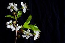 Free Cherry Blossom Royalty Free Stock Photography - 14386627