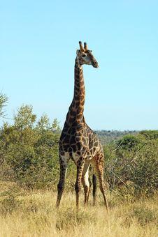 Free Giraffe Stock Image - 14386861